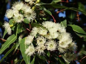 Eucalyptus globuleux huile essentielle