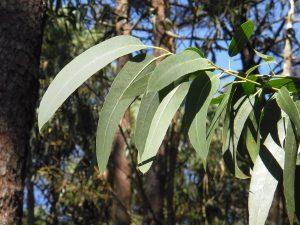 feuille eucalytpus radie huile essentielle