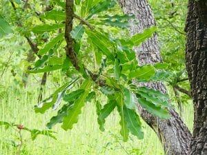 Feuille arbre karite