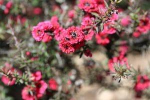 Manuka fleur rose