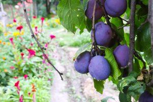 prune sur prunier