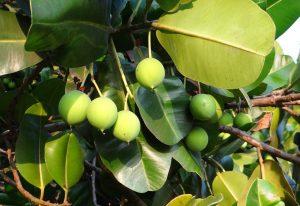 huile de calophylle arbre fruit